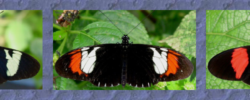 Butterfly speciation top image